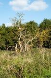 Dead elder bush Stock Images