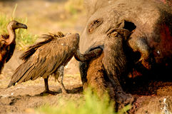 Dead Elephant with Vulture Royalty Free Stock Images