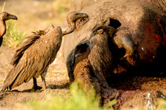 Dead Elephant with Vulture Royalty Free Stock Image