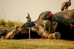 Dead Elephant Royalty Free Stock Images