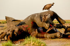 Dead Elephant. With vulture in Chobe Royalty Free Stock Images