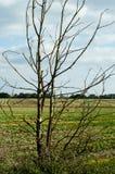 Dead elm tree sapling Royalty Free Stock Photo
