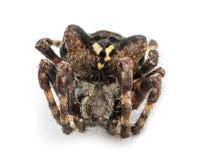 Dead European garden spider, Araneus diadematus, isolated. On white Royalty Free Stock Image