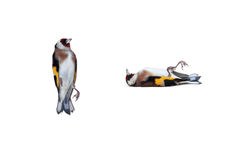Dead European Goldfinch Royalty Free Stock Images