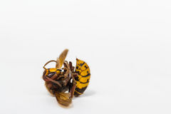 Dead European Hornet Stock Images