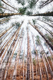Dead Evergreen Forest Royalty Free Stock Images