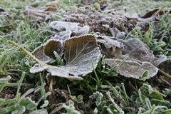 Dead fallen leaf over the grass in a freezing winter morning Stock Image