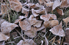Dead fallen leaves in late autumn. Nature, Ukraine. Early morning in the late autumn. Dead fallen leaves on the ground in close with frost royalty free stock photo