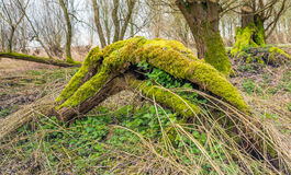 Dead fallen tree covered with moss Stock Photography