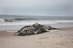 Dead Female Humpback Whale including Tail and Dorsal Fins on Fire Island, Long Island, Beach, with Sand in Foreground and Atlantic stock photo