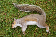 Dead female squirrel on grass Royalty Free Stock Photography