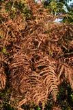 Dead fern Stock Photo