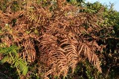 Dead fern Stock Image