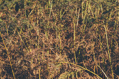 Dead ferns in autumn. Stock Image