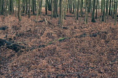 Dead ferns in autumn forest. Royalty Free Stock Images