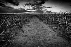 The dead field. In black and white with dead plantation royalty free stock photography
