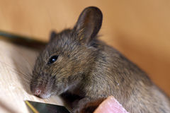 Dead Field Mouse Royalty Free Stock Images