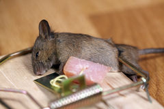Dead Field Mouse Stock Images