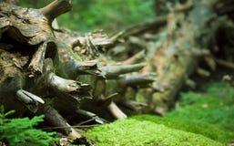 Dead fir tree. Trunk on moss Stock Image