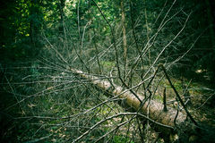 Dead fir tree. A dead fallen fir tree in a shady forest Royalty Free Stock Photos