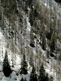 Dead firs in a snowy cliff. A view of snowy slope with dead firs in the Italian Alps Royalty Free Stock Photo