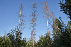 Dead Firs. Three high dead Firs in the forest against the blue sky Stock Photos