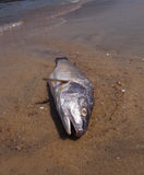 Dead fish. On a seashore Royalty Free Stock Image