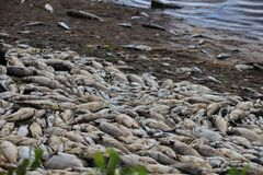 Red Tide Sanibel Island Florida. Dead fish along the shell covered beaches in Southwest Florida royalty free stock photos