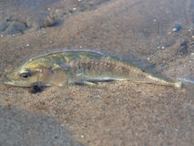 Dead Fish On The Beach. The stickle-back fish cast ashore by a storm Royalty Free Stock Photos