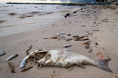 Dead fish on the beach Royalty Free Stock Photos