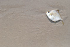 Dead fish on beach Royalty Free Stock Photography