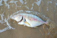 Dead fish on the beach. Royalty Free Stock Photos