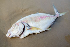 Dead fish on the beach. Royalty Free Stock Photo
