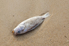 Dead fish on the beach Royalty Free Stock Photography
