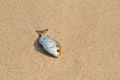 Dead fish on the beach Stock Images