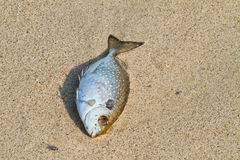 Dead fish on the beach Royalty Free Stock Images