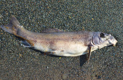 Dead fish on beach environment problem polluted water ecology disaster Stock Image