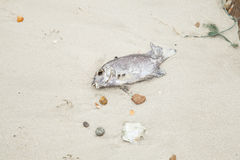 Dead fish on the beach. Stock Photos