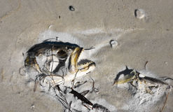 Dead Fish on the Beach Stock Image