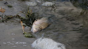 Dead Fish on the Beach. Dead river fish thrown out of water waves lies on the river bank stock video