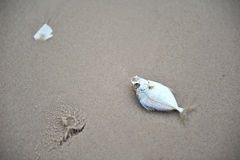 Dead fish on a beach Stock Photography