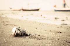 Dead fish on the beach Royalty Free Stock Image