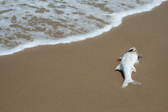Dead fish on beach by sea Royalty Free Stock Image