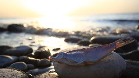 Dead fish at the beach after some environmental. Disaster, sunset time. HD. 1920x1080 stock video footage