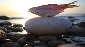 Dead fish at the beach after some environmental. Disaster, sunset time. HD. 1920x1080 stock footage