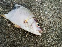 Dead fish on the beach. Water pollution concept Royalty Free Stock Photography