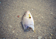 Dead fish on the beach. Water pollution concept Royalty Free Stock Photos