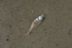 A dead fish at the bottom of the pond Stock Images