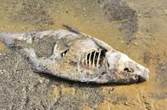Dead Fish (Bream) on River Shore Royalty Free Stock Images