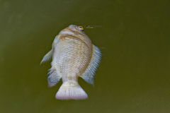 Dead fish caused by water pollution Stock Photos